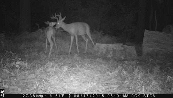 buck and doe from browning camera