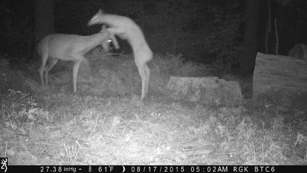 Buck and doe fighting