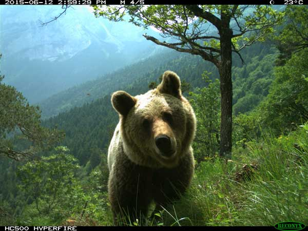 Italian bear in the Dolomites