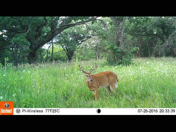 Monster whitetail on Bushnell trail camera