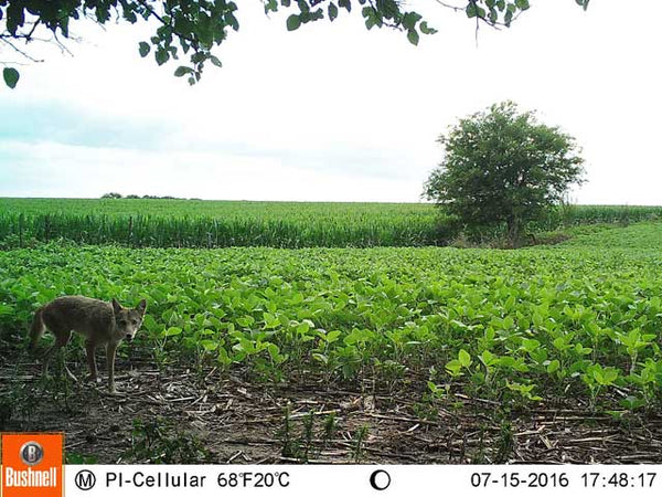 Coyote trailcam photo