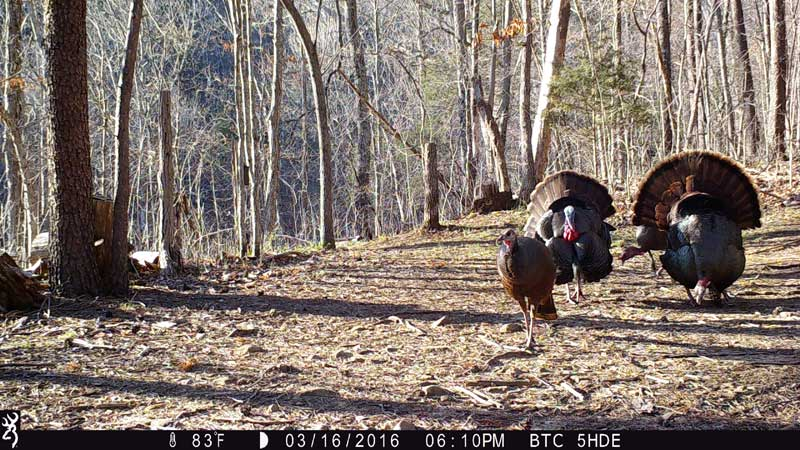 Turkeys strutting on BTC-5HDE