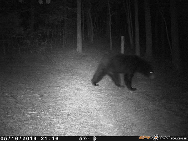 bear walking in front of spypoint trail camera