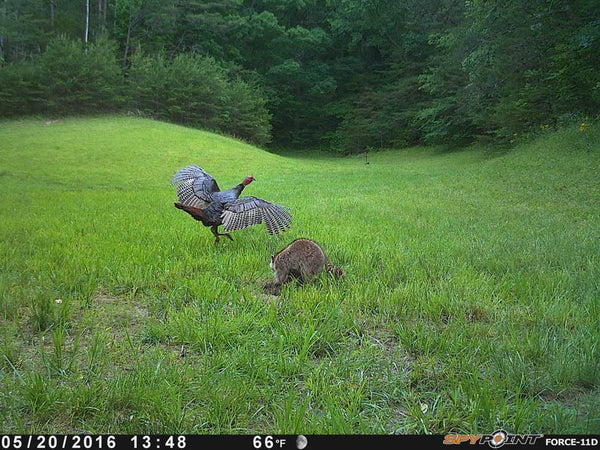 turkeys on spypoint 11d
