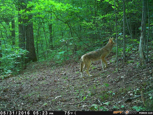 Coyote on a game camera