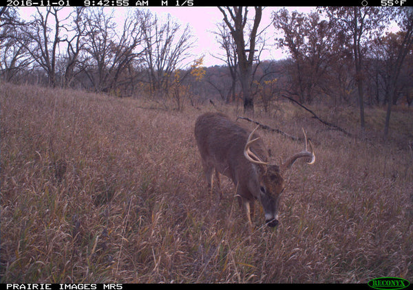 Whitetail buck with Reconyx MR5