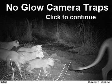 Lion cubs from no glow camera traps