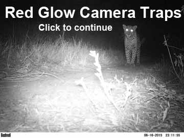 Leopard from red glow camera trap