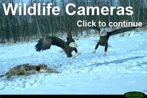 two eagles fighting from a trail camera