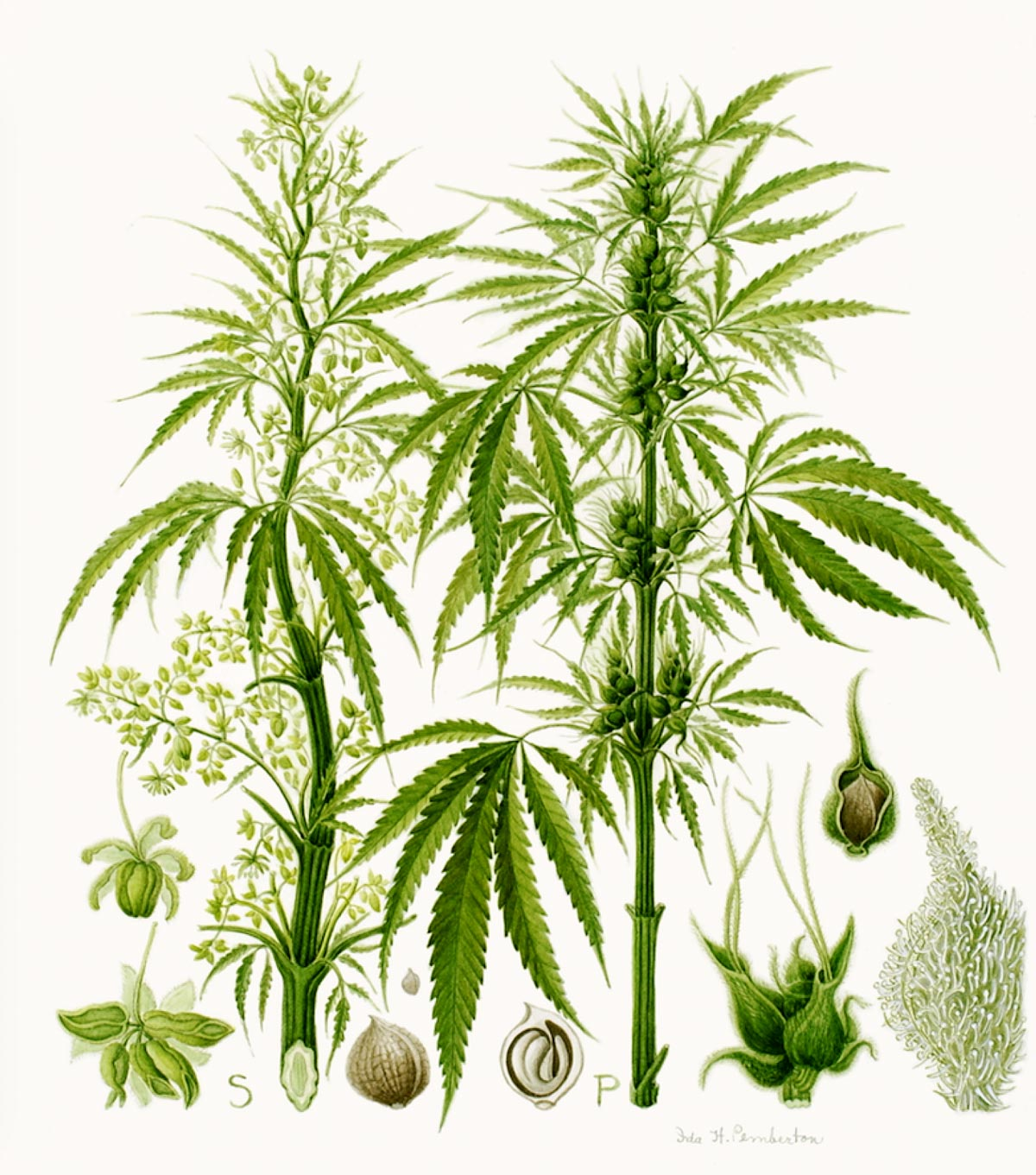 Cannabis Sativa Botannical Illustration