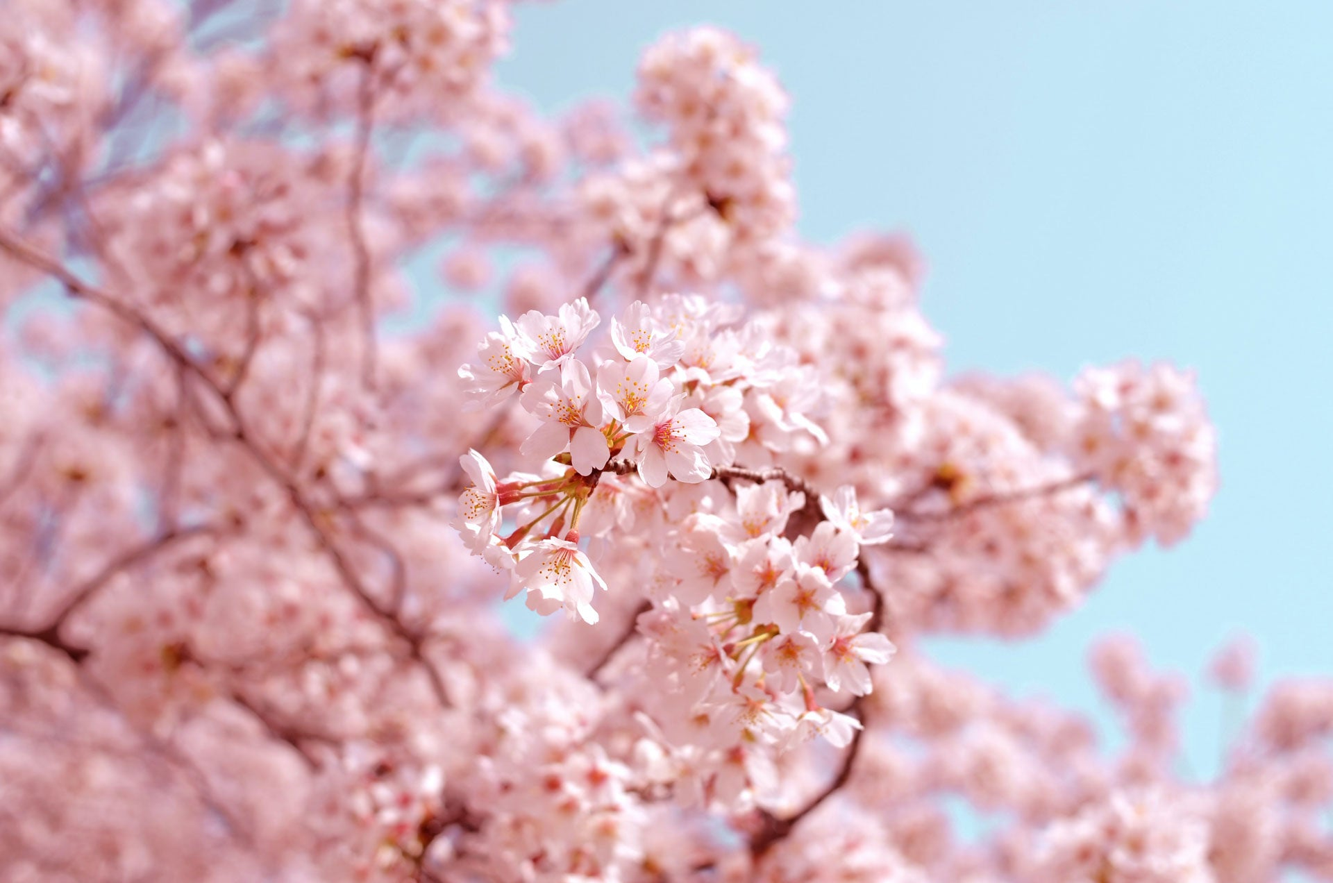 Limited edition Sakura colour – inspired by Japanese Cherry Blossoms | Citizen Wolf