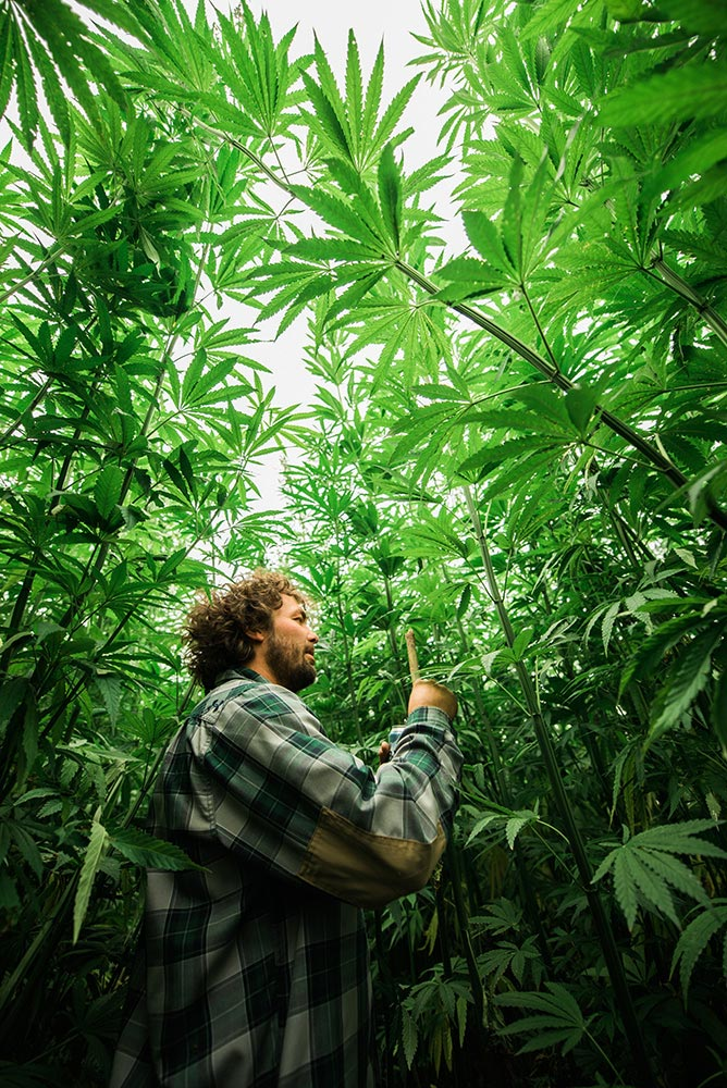 Hemp grows up to 5 metres tall in only 100 days!