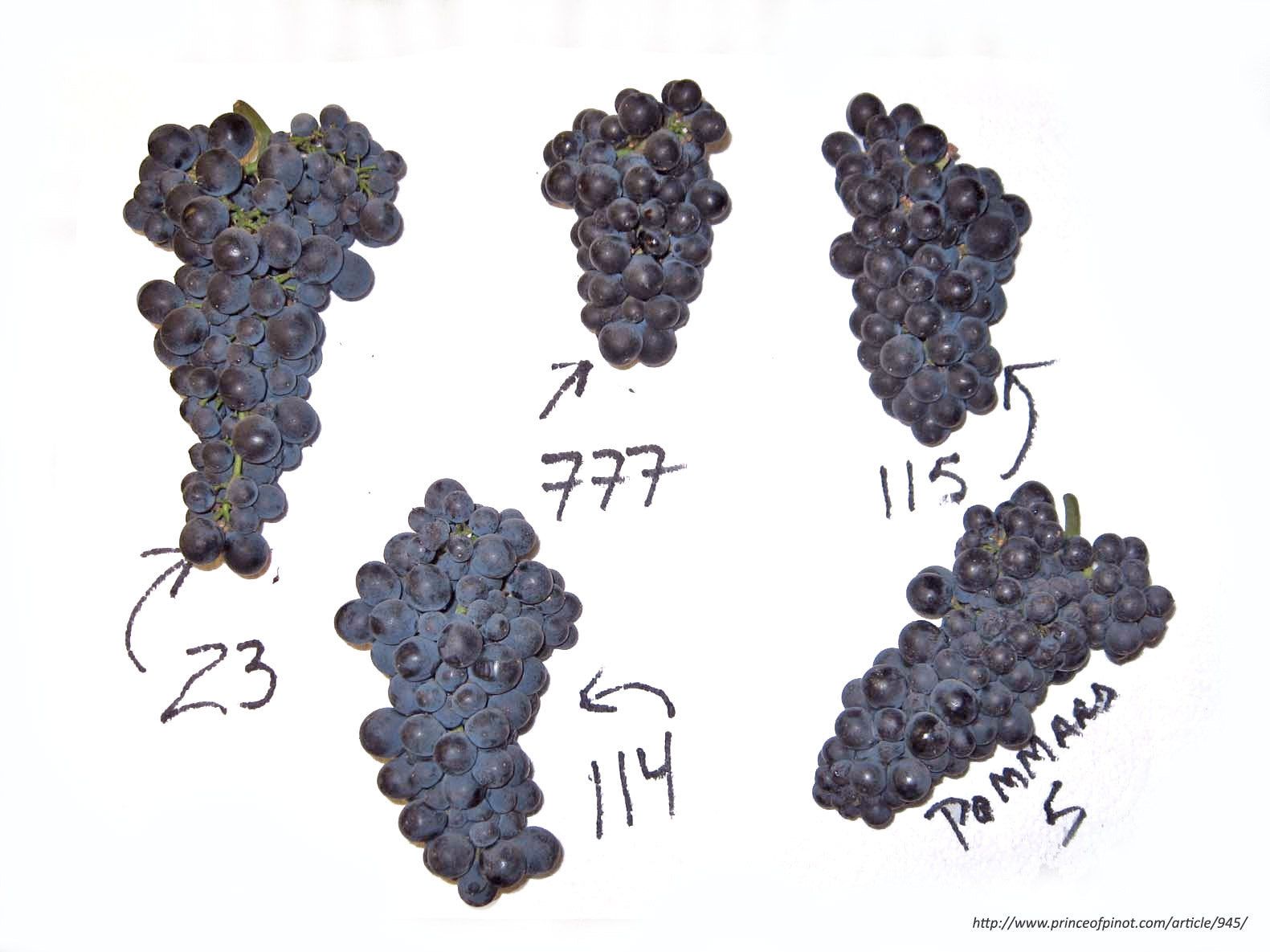 Pinot Noir is so Genetically unstable it has thousands of genetic clones | Citizen Wolf