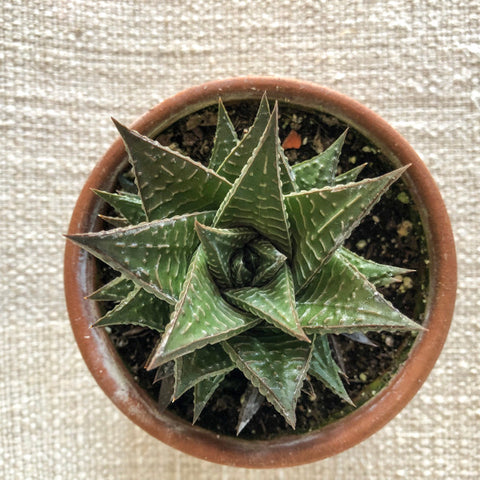 Succulent: Haworthia 'Fairy Washboard'