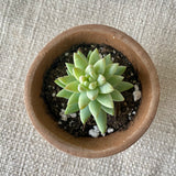 Succulent: Echeveria 'Blue Apple'