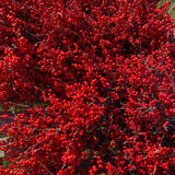 Branches - Winterberry