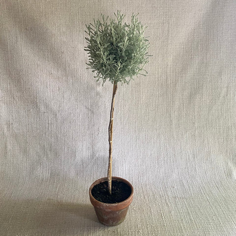 Topiary: Santolina Silver Standard