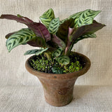Houseplant: Ctenanthe 'Fishbone Prayer Plant'