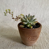 Succulent: Pachyveria 'Blue Pearl'