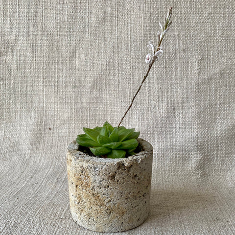 Succulent: Haworthia 'Cathedral Window'