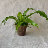 Houseplant: Fern 'Victoria's Bird's Nest'