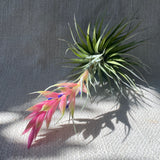 Air Plant: Tillandsia