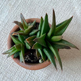 Succulent: Aloe 'Black Gem'