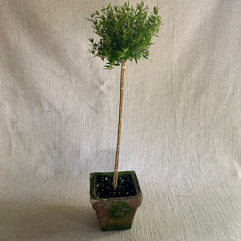 Topiary: Myrtle Standard in Melon Pot