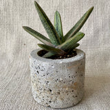 Succulent: Gasteria 'Little Warty'