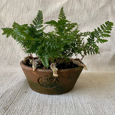 Houseplant: Fern 'Rabbit's Foot'