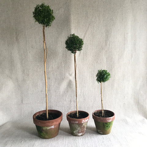 Topiary: Myrtle Standards