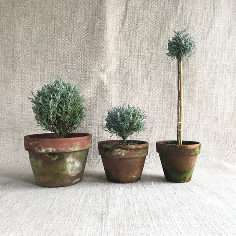 Topiary: Santolina Standards & Globes