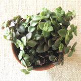 Succulent: Crassula 'Calico Kitten'