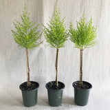 Topiary: Lemon Cypress Standards