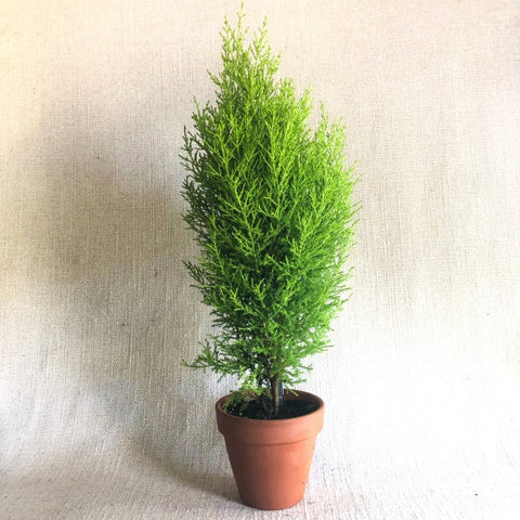 Topiary: Natural Lemon Cypress