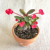 Succulent: Euphorbia 'Crown of Thorns'