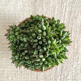 Succulent: Sempervivum 'Oddity Houseleek'