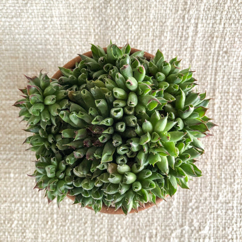 Succulent: Sempervivum 'Oddity'