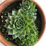 Succulent: Sempervivum spp. 'Hens & Chicks'