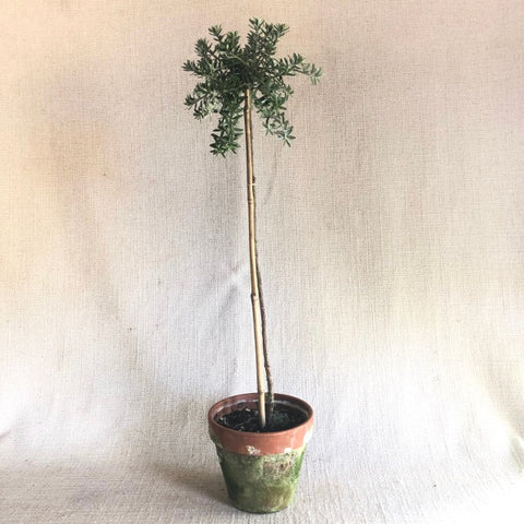 Special: Westringia Standard Topiary