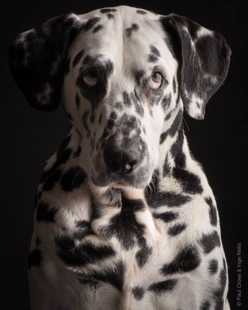 Pongo ! ( 02/10/2003 - 20/11/2015 ) a new star in the sky..