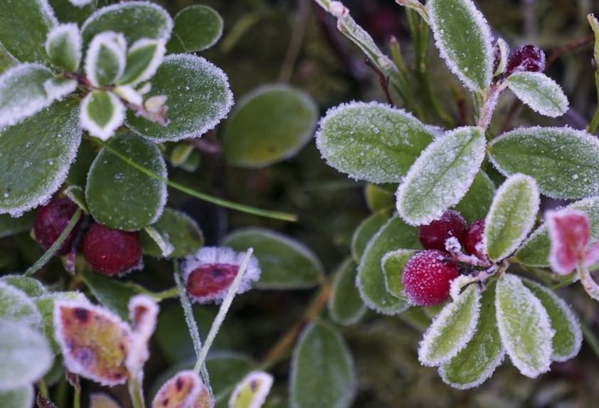 Finnish Wild Herbs and Berries Depend on Winter