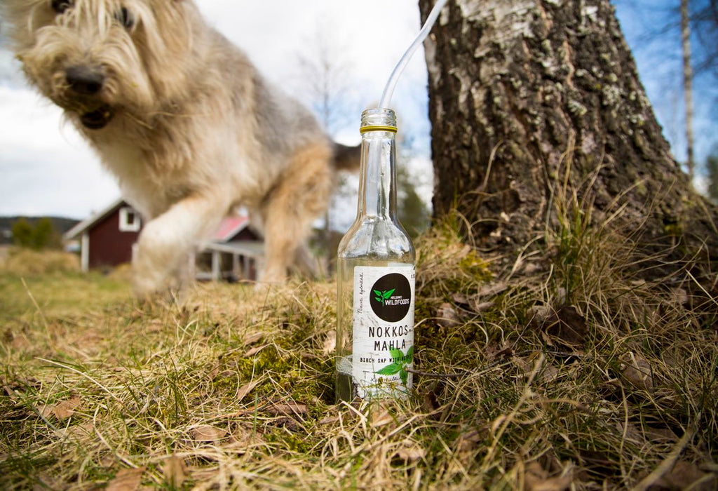 Picture of birch sap tube and a bottle of birch water and a dog approaching the spa bottle.