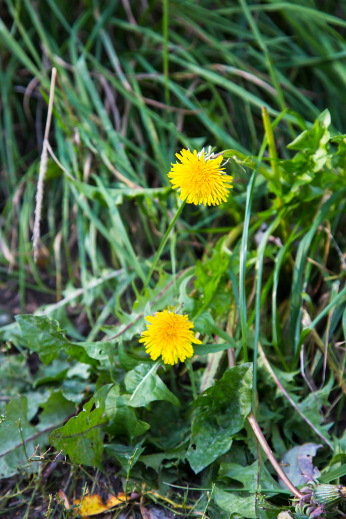 Dandelion Blooming in September
