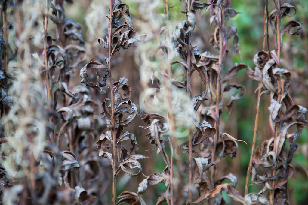 Withered Fireweeds in Autumn