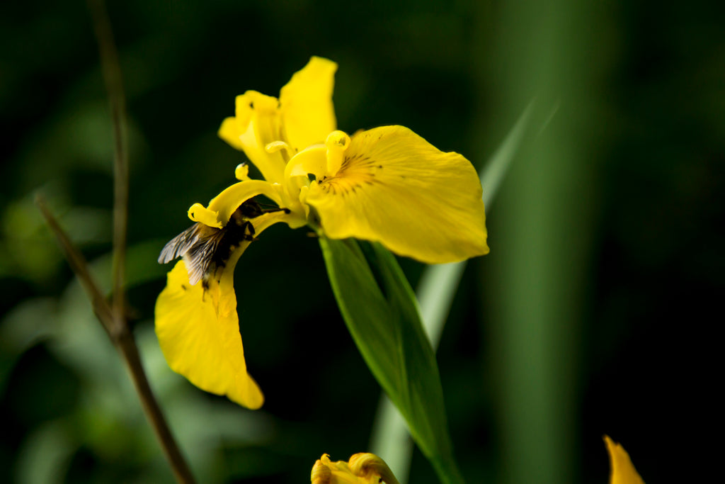 Picture of a bee in a flower in Viikki-Vanhankaupunginlahti, Helsinki nature sight