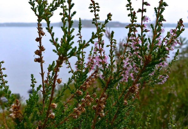 Picture of wild heathers in Uutela, Helsinki