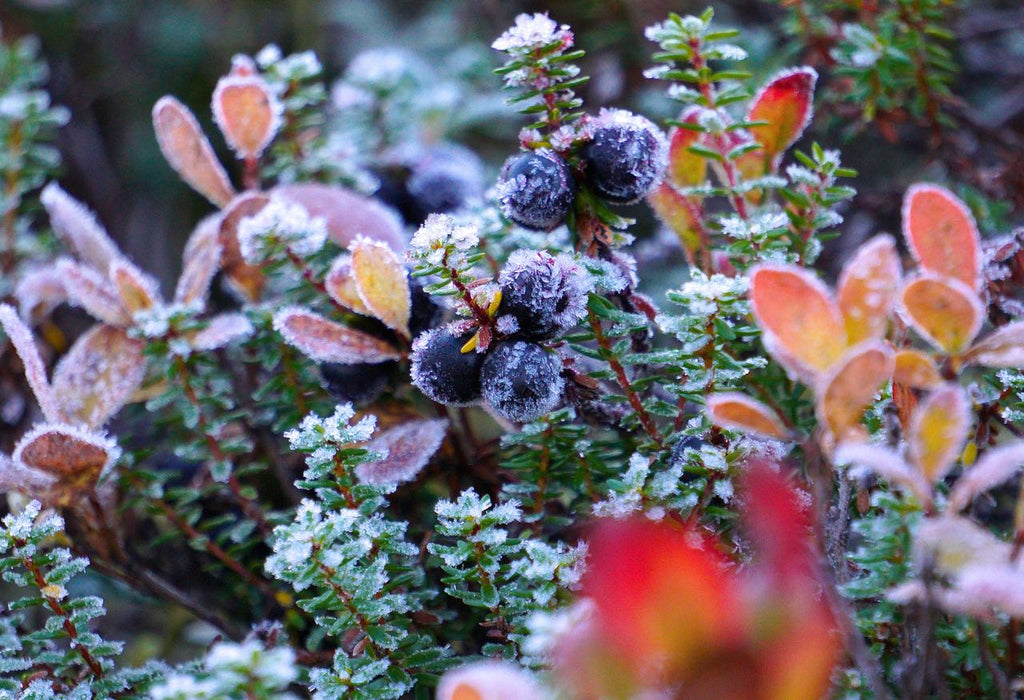 Picture of crowberry in a Finnish national park in Pyhätunturi
