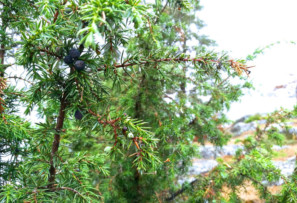 Picture of wild juniper berries in Uutela, Vuosaari