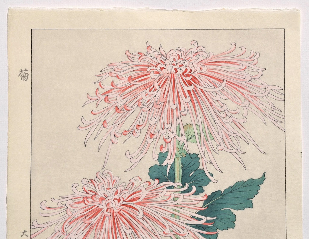 Kiku  (Chrysanthemum)